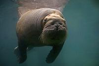 Atlantic walrus, Odobenus rosmarus rosmarus, adult female, underwater (c)