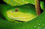 White Lipped Viper, Snake, Trimeresurus albolabris, S.E. Asia, tropical jungle, close up showing eyes and green yellow scales skin, poisonous, venemous.Asia....
