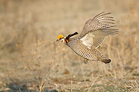 Lesser Prairie-Chicken in flight