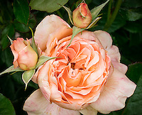 Hybird Tea Rose 'Lawerence of Arabia'