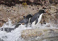 Erect-crested Penguin - Eudyptes sclateri