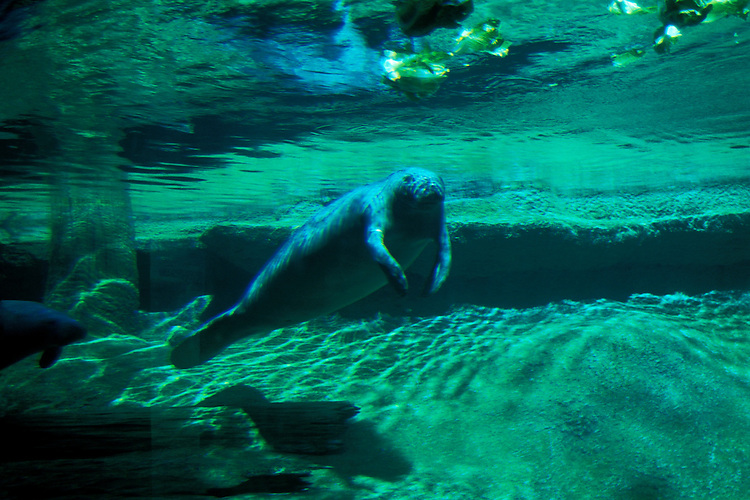 Florida, Tampa: Manatees at Lowry Park Zoo.  Endangered species. flmana101...Photo copyright Lee Foster, 510/549-2202, lee@fostertravel.com, www.fostertravel.com