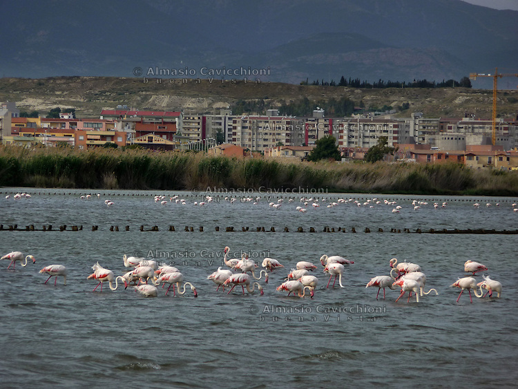 GIU 2010 Sardegna, Cagliari, fenicotteri nello stagno dei Molentargius .JUN 2010 Sardinia, Cagliari, flamingos in the  Molentargius pond