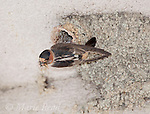 Cliff Swallow (Petrochelidon pyrrhonota) clinging outside its nest with beakful of insects for its young, Mono Lake Basin, California, USA