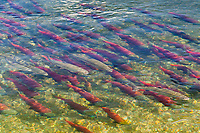 Rainbow trout mix with a school of red salmon swimming in the Brooks River, Katmai National Park, southwest, Alaska.