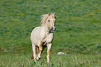 Wild Horse or feral horse (Equus ferus caballus)--young stallion running.  Western U.S., summer.