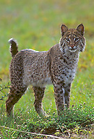 Bobcat in meadow, Florida