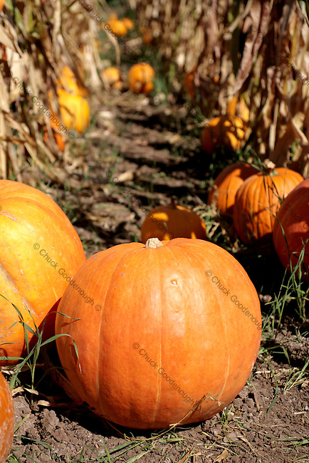 Stock Photo of pumpkins in a field of Corn Rows