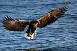 Japan, Hokkaido, white-tailed eagle flying over ocean