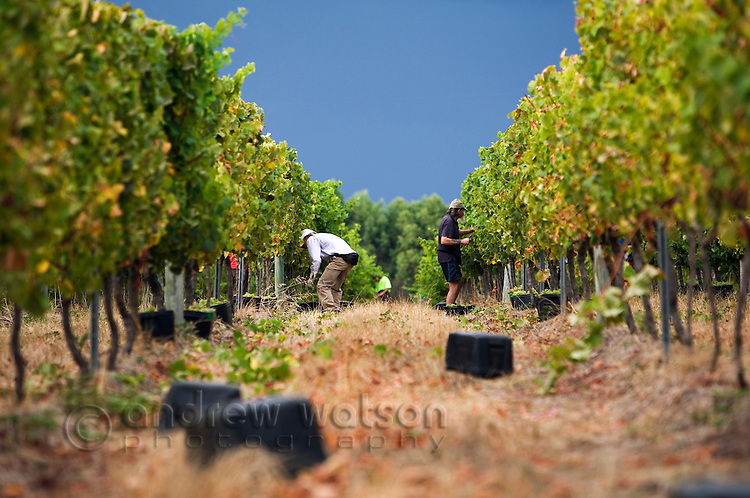 Workers harvest grapes by hand.  Margaret River, Western Australia, AUSTRALIA.