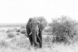 A large elephant atop the high plains in the late afternoon, Serengetti.