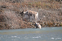 A caribou shakes itself dry after crossing the Kongakut River, in Alaska's Arctic National Wildlife Refuge.