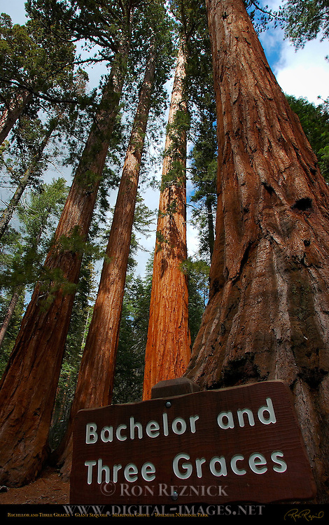 Bachelor and Three Graces, Giant Sequoia, Sequoiadendron giganteum, Mariposa Grove of Giant Sequoias, Yosemite National Park