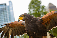A Harris Hawk is pictured in Halifax, Nova Scotia, Thursday August 22, 2019.