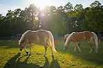 Old Bethpage, New York, USA. September 28, 2014. Three Palomino horses graze on grass as dusk approaches at the 172nd Long Island Fair, a six-day fall county fair held late September and early October. A yearly event since 1842, the old-time festival is now held at a reconstructed fairground at Old Bethpage Village Restoration. The Palomino has a gold coat and white mane and tail.