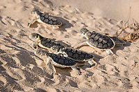 Australian flatback sea turtle hatchlings, Natator depressus (c-r), crawl out of nest pit, Crab Island, off Cape York Peninsula, Torres Strait Queensland, Australia