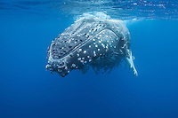 Large female humpback whale carrying hundreds of remoras. (Photo by Underwater Photographer Matt Considine)