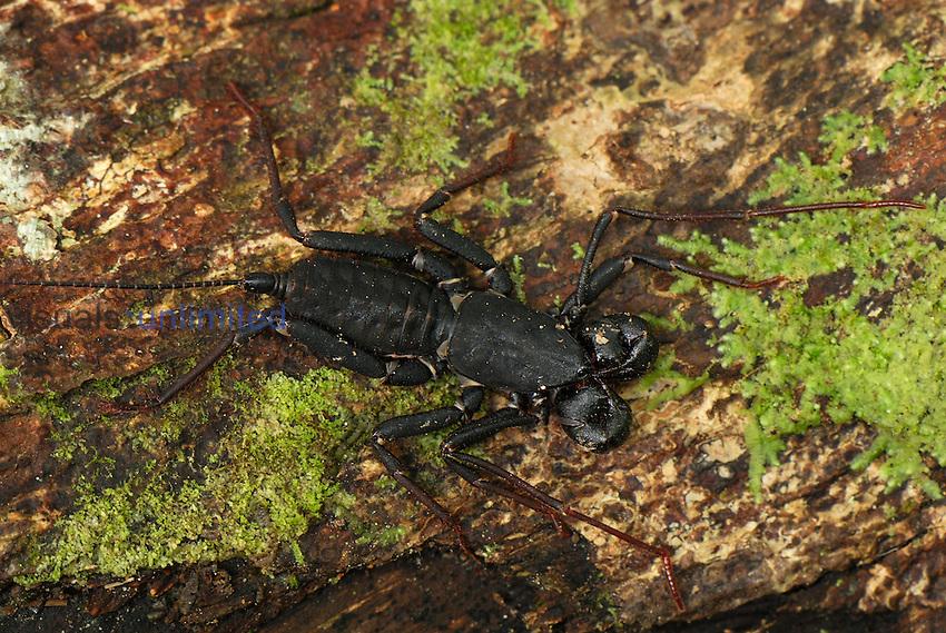 Vinegaroon (Thelyphonidae), Danum Valley Conservation Area, Sabah, Borneo, Malaysia
