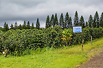 Coffea arabica coffee trees at Cloud Rest Coffee Farm, where Rusty's Hawaiian Coffee is grown, in the district of Ka'u on the Big Island of Hawaii, USA, America