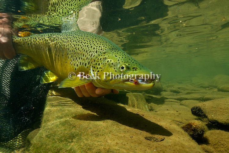 Underwater brown trout with fly