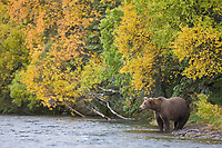 Brown bear sow along the shores of the Brooks River, Katmai National Park, Alaska.