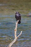 Raven, Katmai National Park, southwest, Alaska.