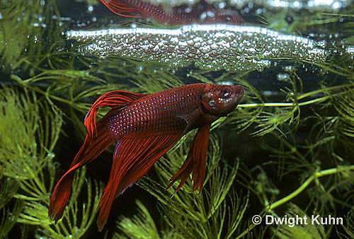 BY03-002z  Siamese Fighting Fish - male near bubble nest - Betta splendens