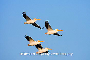 00671-01005 American White Pelicans (Pelecanus erythrorhynchos) in flight  Riverlands Environmental Demonstration Area,  MO