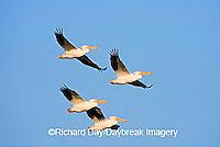 00671-01005 American White Pelicans (Pelecanus erythrorhynchos) in flight  Riverlands Environmental Demonstration Area,  MO