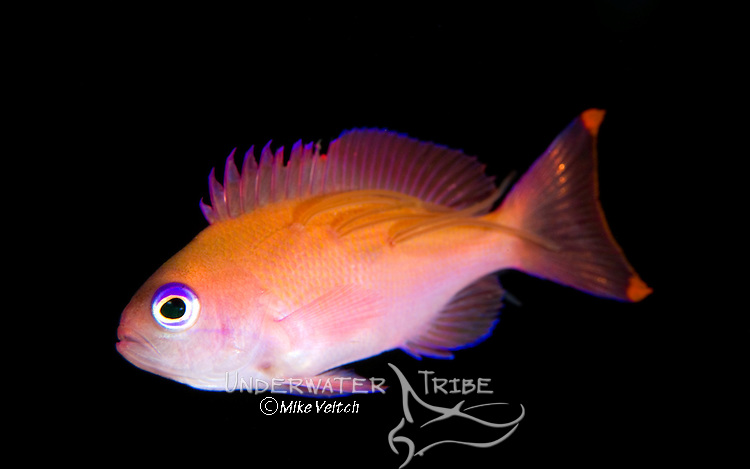 Female stocky anthias, Pseudanthias hypselosoma with parasitic copepods attached, Tulamben, Bali, Indonesia, Pacific Ocean