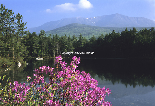 Rhodora blooming on the shore of Rocky Pond, Baxter State Park, Maine, USA