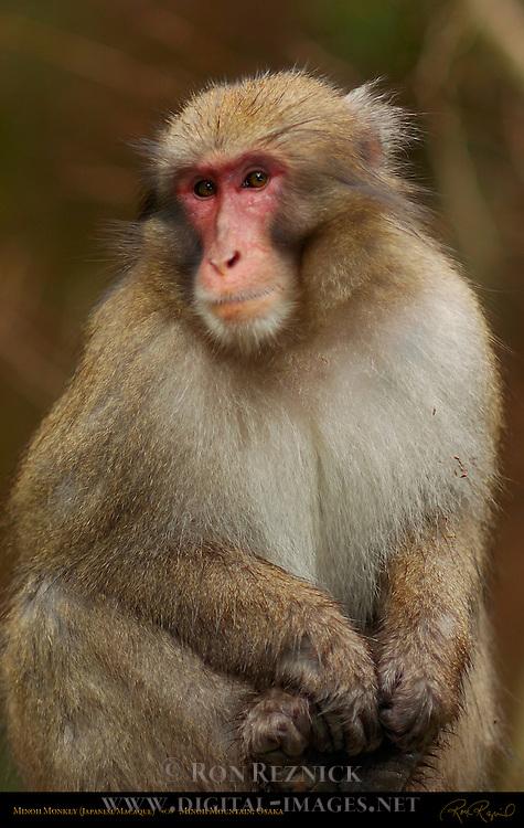 Wild Minoh Monkey Japanese Macaque Saru Nihonzaru Snow Monkey Minoh Mountain Osaka Japan