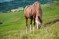 Welsh mountain pony feeds on grassy hillside, Hay Bluff, Wales