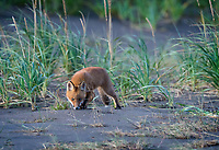 "Red Fox (Vulpes vulpes) kit dove after something in the hole to the right in this image.  It missed - spectacularly - but came up slinking out of the hole.  It seemed slightly embarrassed, but quickly picked up a scent nearby and went into ""stalk"" mode.  Or else it was just faking it to make up for its failure."