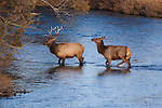 Bull and cow elk posturing in a stream in Montana