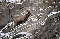 Bighorn Ram, Gardiner, Montana