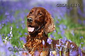 Bob, ANIMALS, REALISTISCHE TIERE, ANIMALES REALISTICOS, dogs, photos+++++,GBLA4110,#a#, EVERYDAY