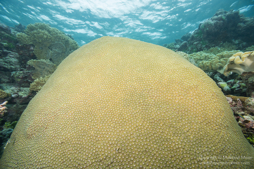 Munda, Western Province, Solomon Islands; a large dome shaped colony of diploastrea heliopora corals growing near the water's surface on a wall