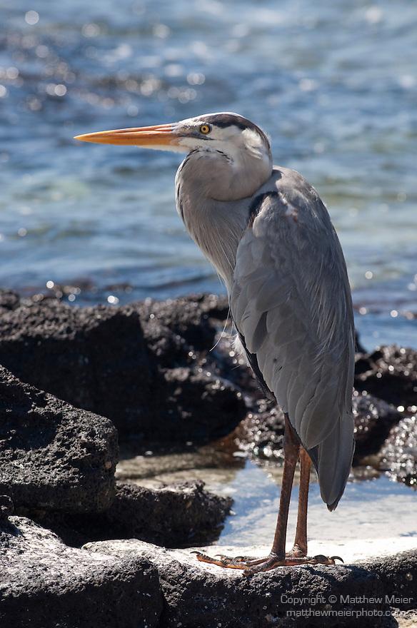 Las Bachas Beach, Santa Cruz Island, Galapagos, Ecuador; a Great Blue Heron (Ardea herodias) bird stands amongst the volcanic rocks at the water's edge , Copyright © Matthew Meier, matthewmeierphoto.com All Rights Reserved