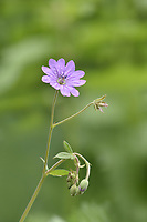Hedgerow Crane's-bill - Geranium pyrenaicum