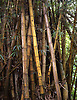 Bamboo trees on the Hawaiian island of Maui. Photo by Kevin J. Miyazaki/Redux