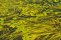 Aquatic vegetation on Isabel Lake (Lily pads and Sparganium)<br />Kenora<br />Ontario<br />Canada