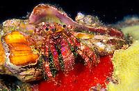 A Bloody Hermit Crab ( Dardanus sanguinocarpus).