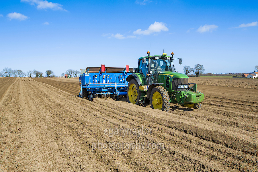 Planting Scotch Maris Peer in beds for seed production - Norfolk, March