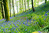 Hyacinthoides non-scripta (formerly Endymion non-scriptus or Scilla non-scripta) is a bulbous perennial plant, found in Atlantic areas from north-western Spain to the British Isles, and also frequently used as a garden plant. It is known in English as the common bluebell or simply bluebell, a name which is used in Scotland to refer to the harebell, Campanula rotundifolia. In spring, H. non-scripta produces a nodding, one-sided inflorescence of 5&ndash;12 tubular, sweet-scented violet&ndash;blue flowers, with strongly recurved tepals, and 3&ndash;6 long, linear, basal leaves.<br />