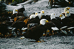 Bald eagles feed on spawned-out salmon, Homer Spit, Alaska, USA