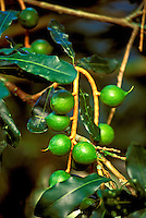 Close-up of green macadamia nuts, a significant part of the agricultural business on the Island of Hawaii.