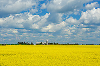 Canola crop in bloom and dairy farm<br /> Earlton<br /> Ontario<br /> Canada