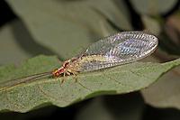 Rotköpfige Florfliege, Italochrysa italica, lacewing, lacewings, Florfliegen, Goldaugen, Chrysopidae