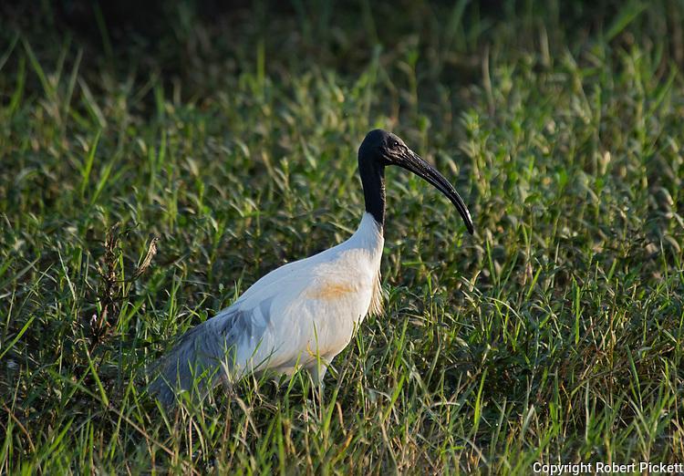 Black Headed Ibis, Threskiornis melanocephalus, Yala National Park, Sri Lanka, wading at waters edge